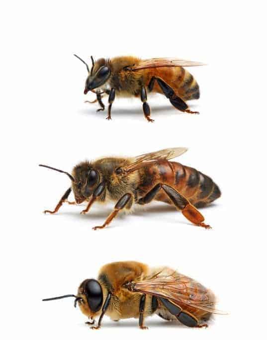 Curiosidades de las abejas