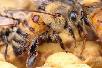 Las abejas evolucionan para rechazar la varroasis