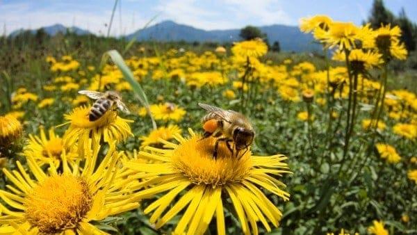 Por qué la abeja Apis Millifera es una excelente polinizadora