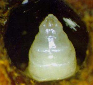 Prepupa de abeja - artículo Varroa