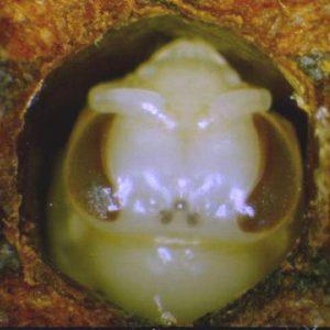 Pigementación de ocelos - Artículo Varroa
