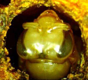 Pigmentación marrón - Artículo Varroa