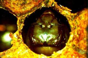 Pupa de abeja - Artículo Varroa