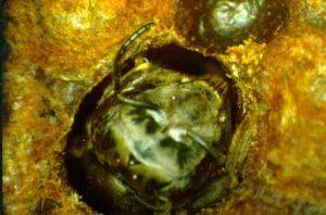 Fase final de pupa - Artículo Varroa