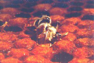 De pupa a adulta - Artículo Varroa