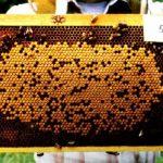 Panal de cría - Artículo Varroa