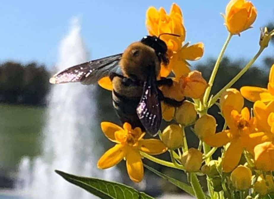 abejorro pecoreando flores en la ciudad