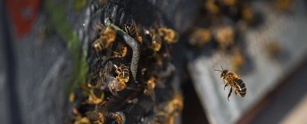 Los insecticidas usados en Europa suponen mayor riesgo para las abejas y otras especies de lo que se pensaba