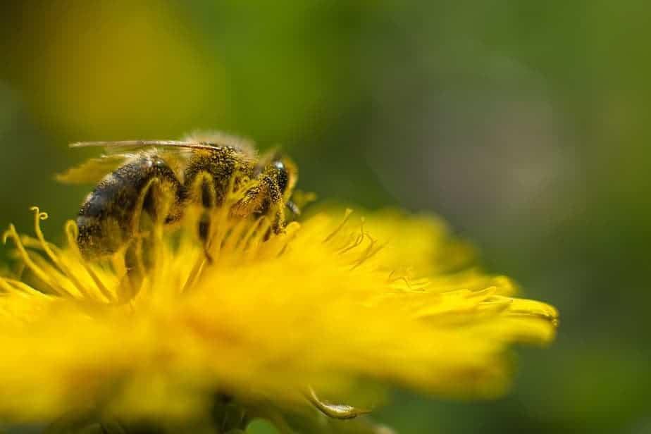 La abeja está pecoreando en un diente de león