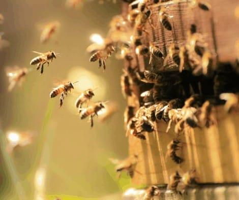 abejas en la colmena