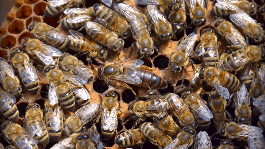 abejas en un marco